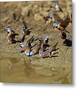 Black-throated Finches At Waterhole Metal Print