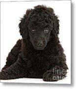 Black Toy Poodle Pup Metal Print