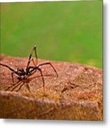 Black Widow Spider Male Metal Print by Douglas Barnett