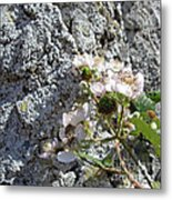 Blackberry On The Rock Square Format Metal Print