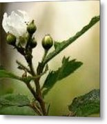 Blackberry Vine Flower Metal Print