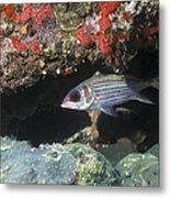 Blackfin Squirrelfish Swimming Metal Print