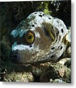 Blackspotted Puffer Metal Print by Matthew Oldfield
