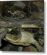 Blandings Swimming Turtle Metal Print
