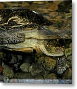 Blandings Turtle Metal Print