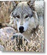 Blending Wolf  Metal Print