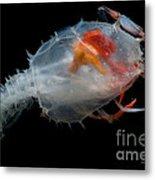 Blind Lobster Metal Print