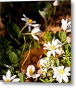 Bloodroot And Spring In The Woodland Metal Print