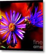 Blooming Asters Metal Print