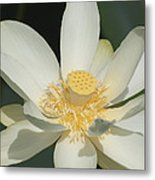 Blooming Lily Metal Print