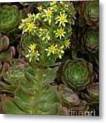 Blooming Succulents Metal Print