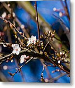 Blooming Tree With White Flowers Metal Print