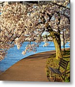 Blossoming Cherry Trees Metal Print