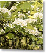 Blossoming Hawthorn Tree Metal Print