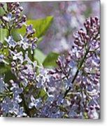 Blossoming Hyacinthiflora Lilacs Metal Print