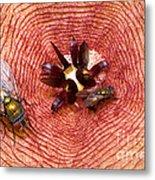 Blowflies On Stapelia Metal Print