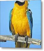Blue-and-gold Macaw Metal Print