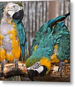 Blue And Gold Macaw Pair Metal Print