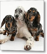 Blue Belton Setter And Dachshund Pups Metal Print
