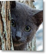 Russian Blue,cat  Metal Print