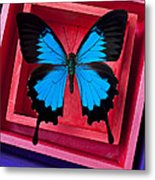 Blue Butterfly In Pink Box Metal Print