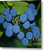 Blue Cohosh Metal Print
