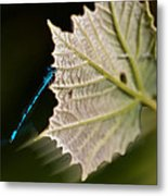 Blue Damsel On Leaf Metal Print