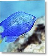 Blue Damselfish Metal Print