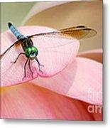 Blue Dasher On A Pink Lotus Metal Print
