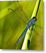 Blue Dragonfly 10 Metal Print