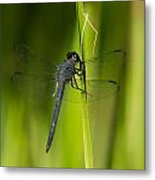 Blue Dragonfly 12 Metal Print