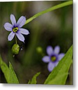 Blue Eyed Grass Metal Print