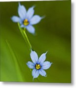 Blue-eyed Grass Wildflower - Sisyrinchium Angustifolium Metal Print