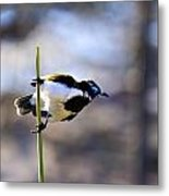 Blue Faced Honey Eater V3 Metal Print