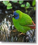 Blue Faced Parrot Finch Metal Print