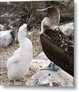 Blue-footed Booby Mother And Chick Metal Print