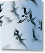 Blue-footed Booby Sula Nebouxii Flock Metal Print