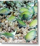 Blue-green Chromis On A Reef Metal Print