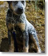 Blue Heeler Pup Metal Print