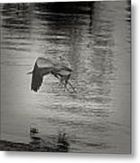 Blue Heron In Platinum Metal Print