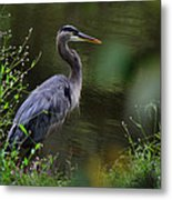 Blue Heron Observing Pond - 6955k Metal Print
