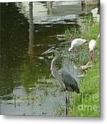 Blue Heron With Ibis Metal Print