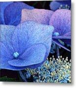 Blue Hydrangea. Metal Print
