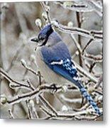 Blue Jay - D003568 Metal Print