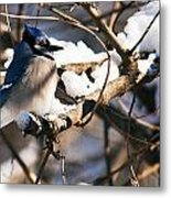 Blue Jay Staying Warm Metal Print