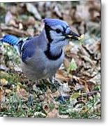Blue Jay With A Piece Of Corn In Its Mouth Metal Print