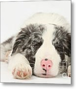 Blue Merle Border Collie Pup Metal Print
