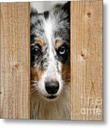 Blue Merle Sheltie Metal Print by Kati Molin