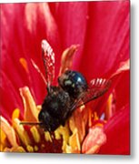 Blue Orchard Bee Metal Print by Scott Bauer