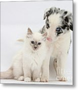 Blue-point Kitten And Border Collie Metal Print